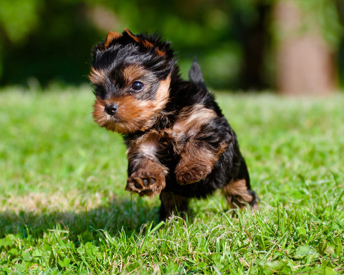 Yorkshire Terrier Puppy Running